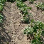 Влияние окучивания на быстрое и правильное формирование  растений